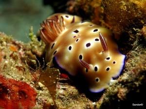 Nudibranch, Arco Point, Panglao, Bohol