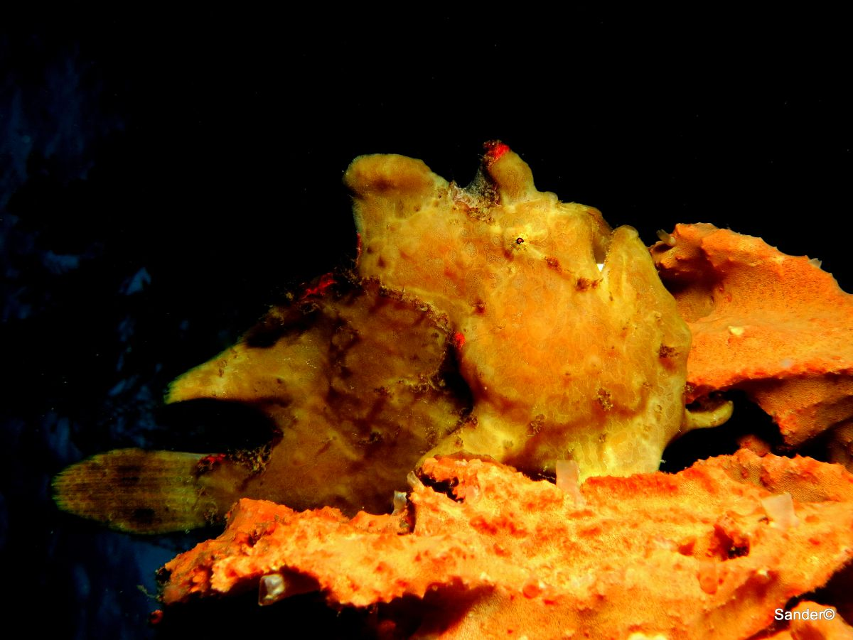 Frog fish, Arco Point, Panglao, Bohol