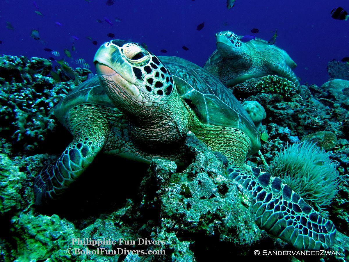 Philippine Fun Divers Turtle Balicasag Island