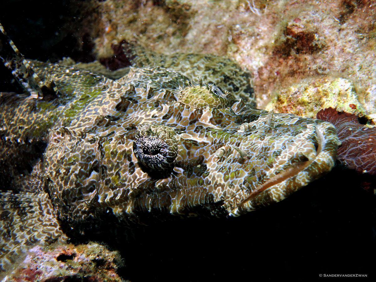Crocodile fish. alona house reef Panglao, Bohol