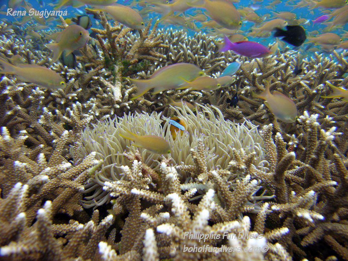 Philippine Fun Divers Alona Beach Panglao Bohol Reef scene 14