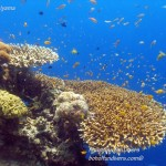 Philippine Fun Divers Alona Beach Panglao Bohol Reef scene 8
