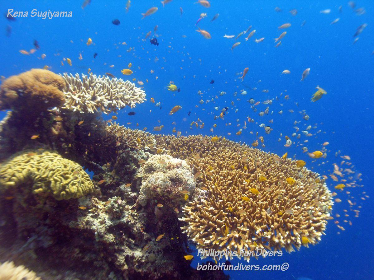Philippine Fun Divers Alona Beach Panglao Bohol Reef scene 8